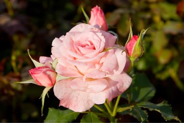 Sweet Rose Fragrance